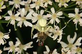 stock photo of goldenrod  - Goldenrod crab spider  - JPG