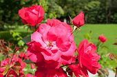 Summer Flowers Of Red Roses Blooming In The Summer Garden. Closeup Of Red Garden Roses poster