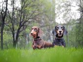 Portrait Of Two Dogs Breed Dachshund. Green Grass poster