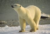 stock photo of polar bears  - Polar bear on the shore of Hudson - JPG