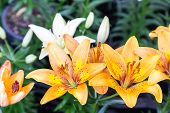 Orange Lily Flower. Beautiful Lily Flower In Lily Flower Garden. Lily Lilium Hybrids Flower. Lily Fl poster