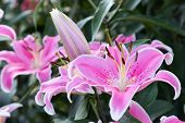 Pink Lily Flower. Beautiful Lily Flower In Lily Flower Garden. Lily Lilium Hybrids Flower. Lily Flow poster