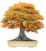 Yellow Bonsai Maple Tree Acer Palmatum Bonsai Tree Of Trident Maple In Autumn Shishigashira Maple Bo poster