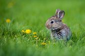 Cute Rabbit With Flower Dandelion Sitting In Grass. Animal Nature Habitat, Life In Meadow. European  poster