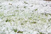 I Fell Down On The Green Grass. Snow Fell On The Green Grass. First Snow. Early Snow. poster