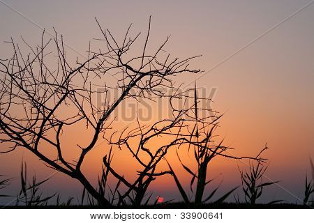 a single  tree without leaves at the sunset
