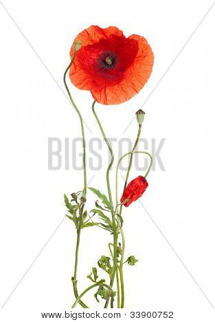 red poppies  isolated  on white. studio shot