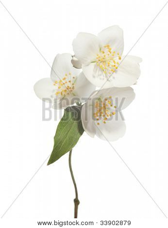 jasmin flowers isolated on white background