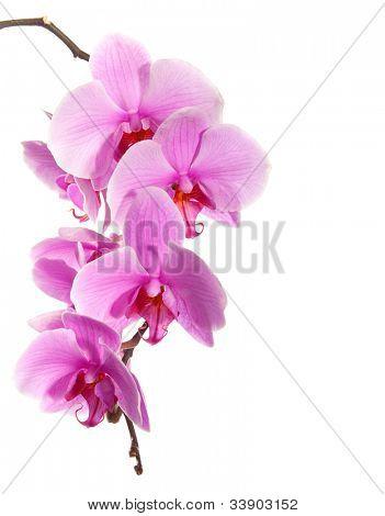 rosa orquídea aislado sobre fondo blanco