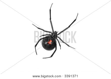 Shinny Black Widow Top View