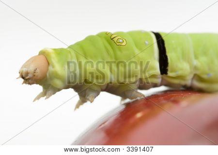 Caterpillar Reaching Off An Apple