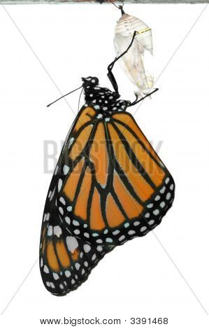 Monarch Butterfly Freshly Emerged From Cocoon
