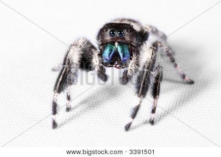 Macro Shot Of Tiny Jumping Spider