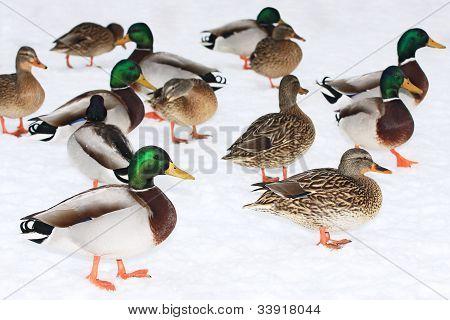 Group of Mallard ducks
