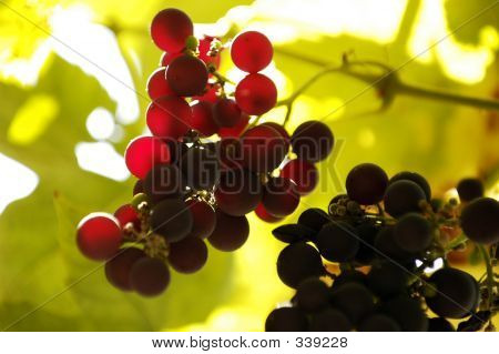 Backlit Grapes On A Vine