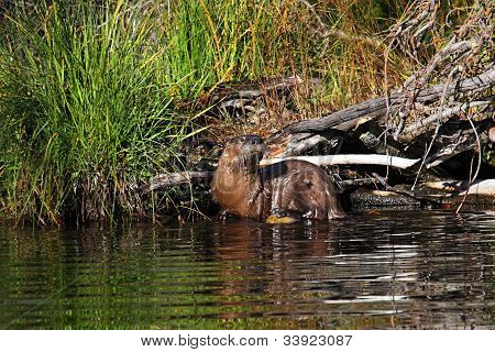 Rio lontra no Parque Yellowstone