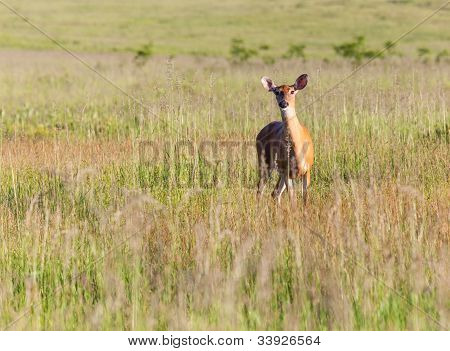 White Tailed Deer Feeds At Big Meadow