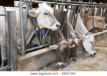 Alimentación de las vacas