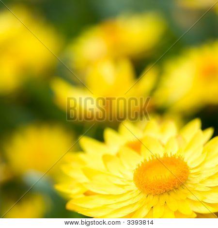 Helichrysum 'Sunshine' Flowers