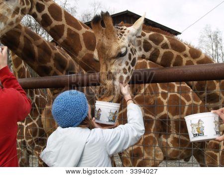 Girl In Blue Hat Feeding A Giraffe