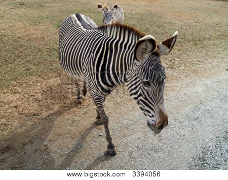 Zebra Up Close