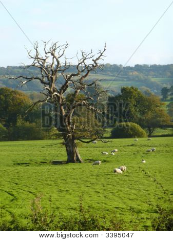Dead Tree In Sheep Pasture