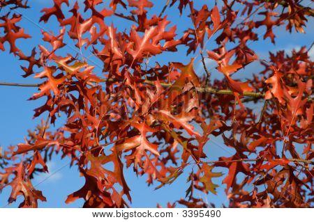 Red Oak bladeren