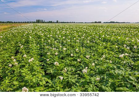 Flowering Potato Plants In A Large Field