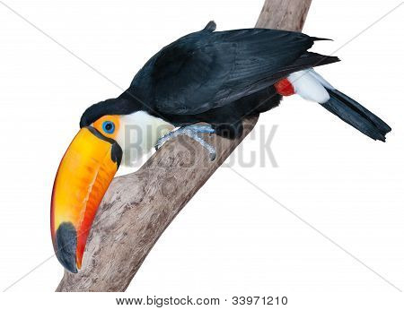 Very Curious Toucan