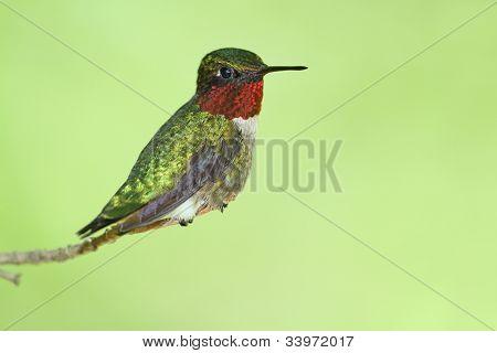 Male Ruby-throated Hummingbird (Archilochus colubris) - Ontario, Canada