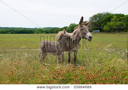 Baby And Mother Donkey