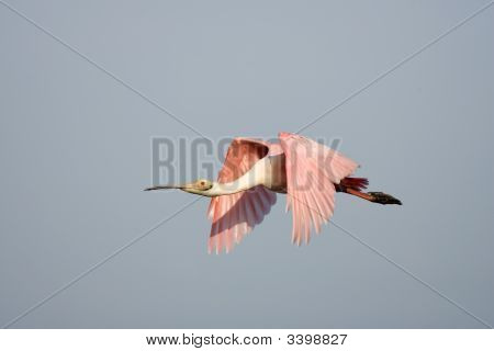 Roseate Spoonbill Flying Across A Pond