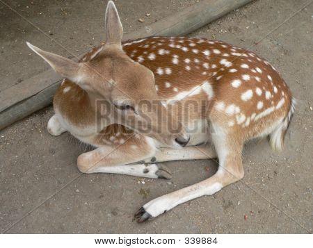 Deer937