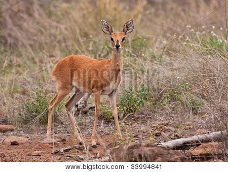 Adult Steenbuck Standing In The Grass