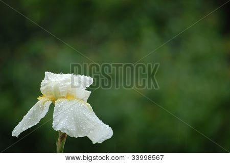 White Iris Under The Rain