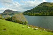 Lake District, Cumbria. UK. English countryside. Sheep Pastures in the English Lake District.  sprin