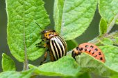 image of potato bug  - Colorado Potato Beetle - JPG