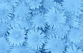 Beautiful Dandelions Floral Background In Trendy Trendy Blue Color. Color Of The Year 2020 Concept.  poster