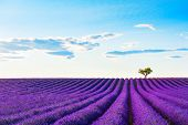 Lavender Fields With Lonely Tree Near Valensole, Provence, France. Beautiful Summer Landscape. Bloom poster