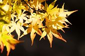 Japanese Maple Leaf Tree In Japan.yellow Maple Leaves In Autumn.selective Focus On Colorful Maple Le poster