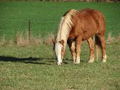 Haflinger - Small Red Horse With Light Color Mane And Tail - Grazing On Green Pasture poster