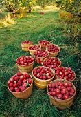 picture of apple orchard  - Old - JPG