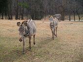 Zebra Gallop