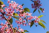 Closeup Of Wild Himalayan Cherry (prunus Cerasoides) Or Thai Sakura Flower Nature Background. Nature poster