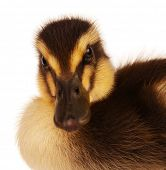 image of baby animal  - Cute domestic duckling isolated on white background - JPG