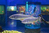 Golden Gray Mullet On Underwater  Herd Fish Flathead Grey Mugil Cephalus, Grey Mullet, Chelon Labros poster