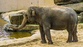 Asian Elephant Closeup Portrait, Endangered Animal Specie From Asia poster