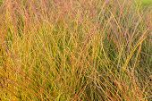 Fragment Of The Thickets Of Ornamental Garden Grass - Anemanthele, Also Known As Gossamer Grass Or N poster