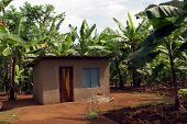 Shack In Banana Plantations