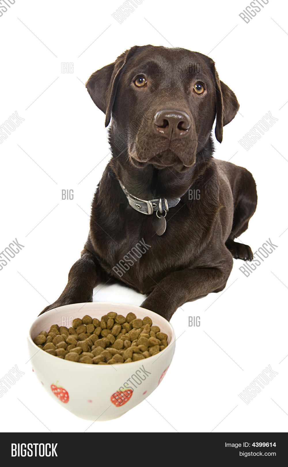 Chocolate Labrador Eating A Bowl Of Food Stock Photo & Stock ...